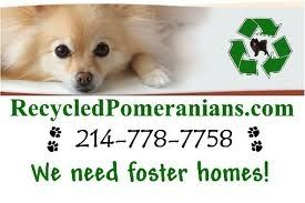 Recycled Pomeranians.com 214-778-7758 We need foster homes!